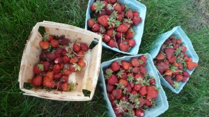 StrawberryPatch6