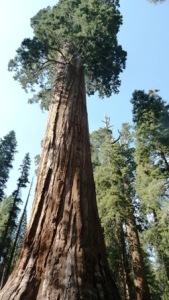 SequoiaTree